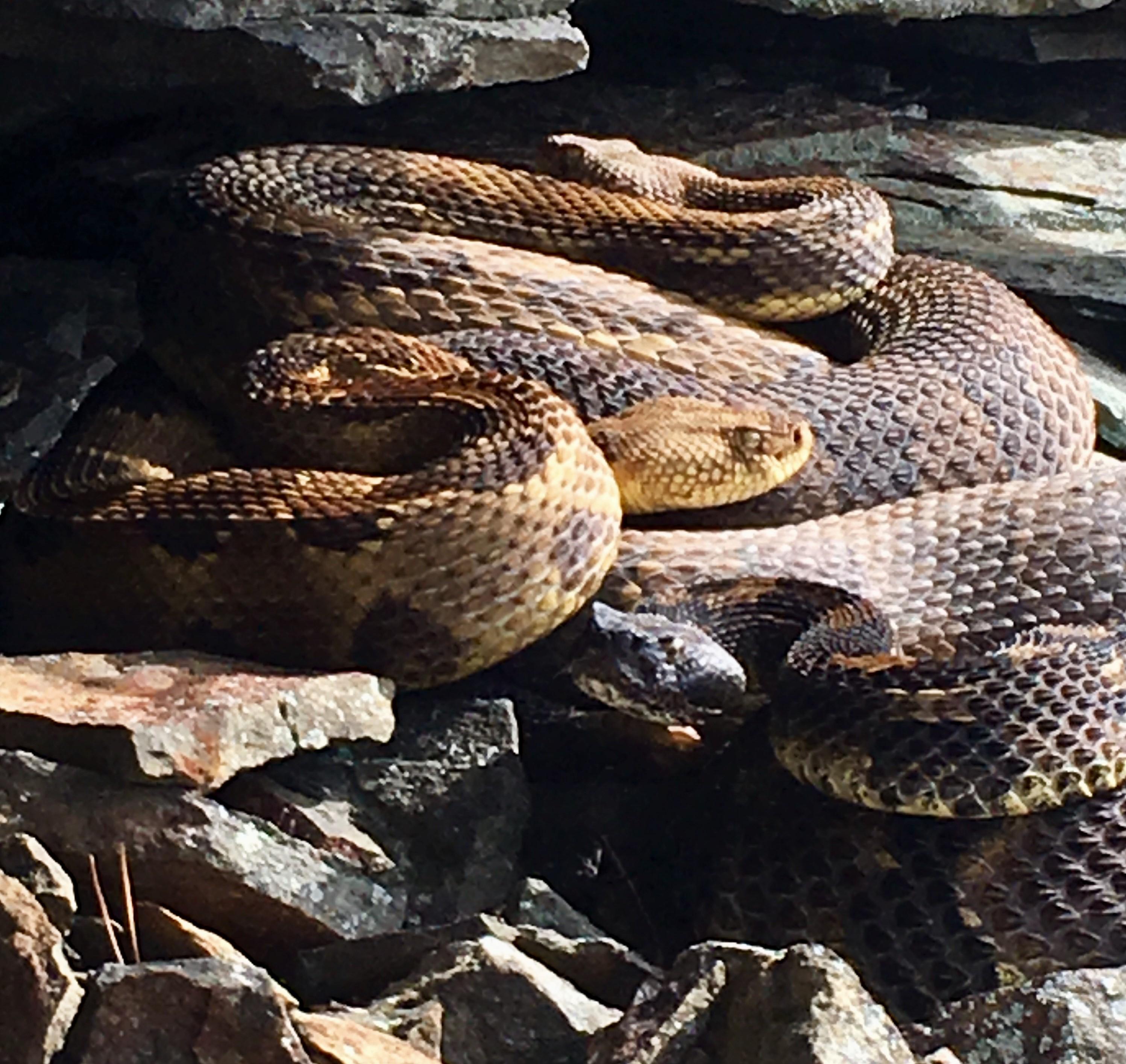 Timber rattlesnakes hibernating in their den