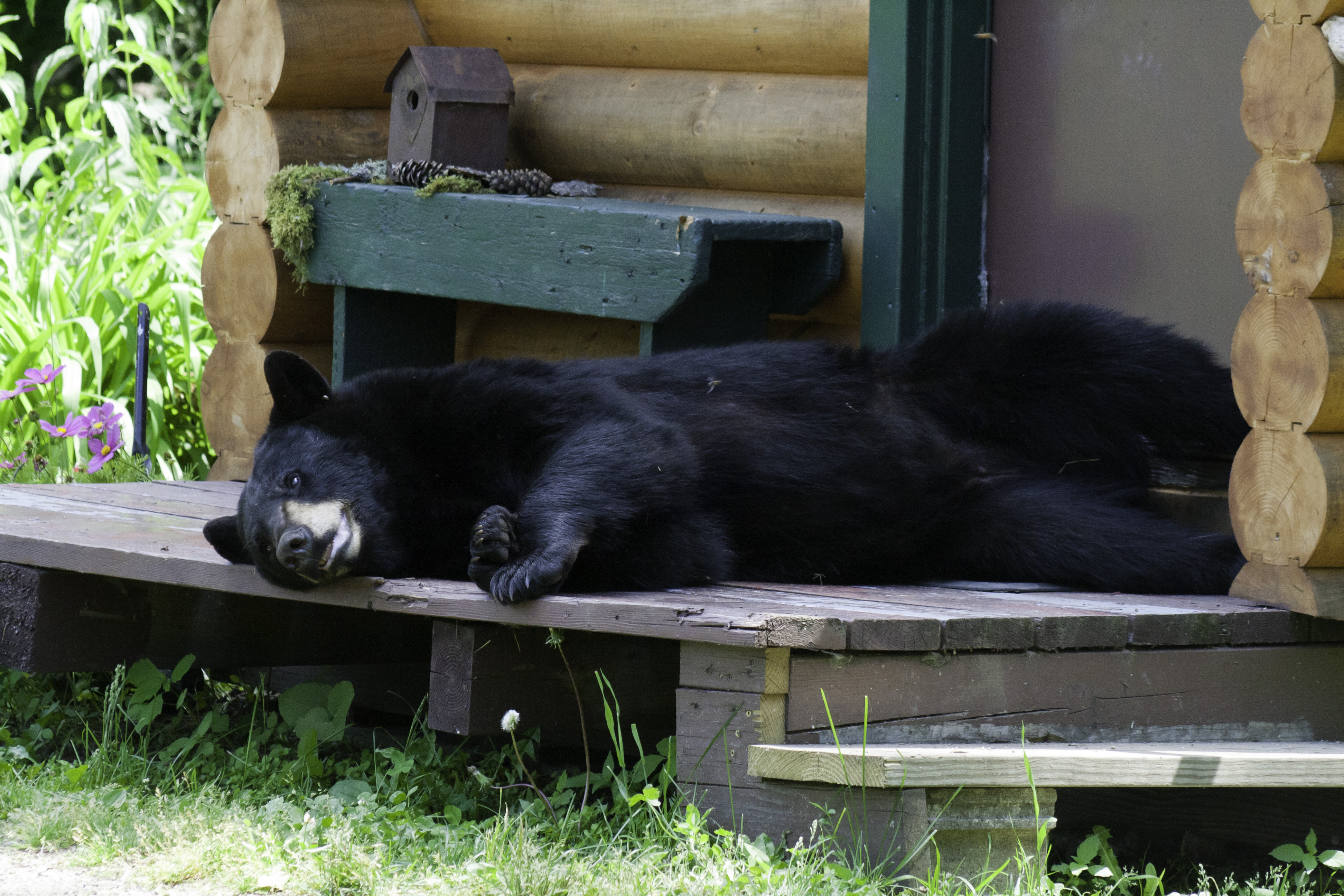 black bear napping on cabin porch