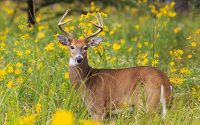 white-tailed deer in field