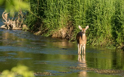 white-tailed doe in stream