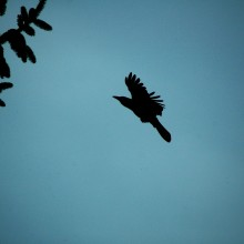 crow flying at dusk