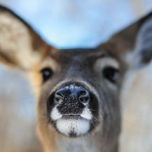 close-up of white-tailed deer
