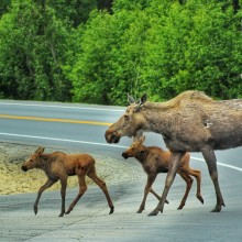 Moose family crossing the road