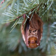 red bat in a tree
