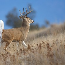 White-tailed buck in field