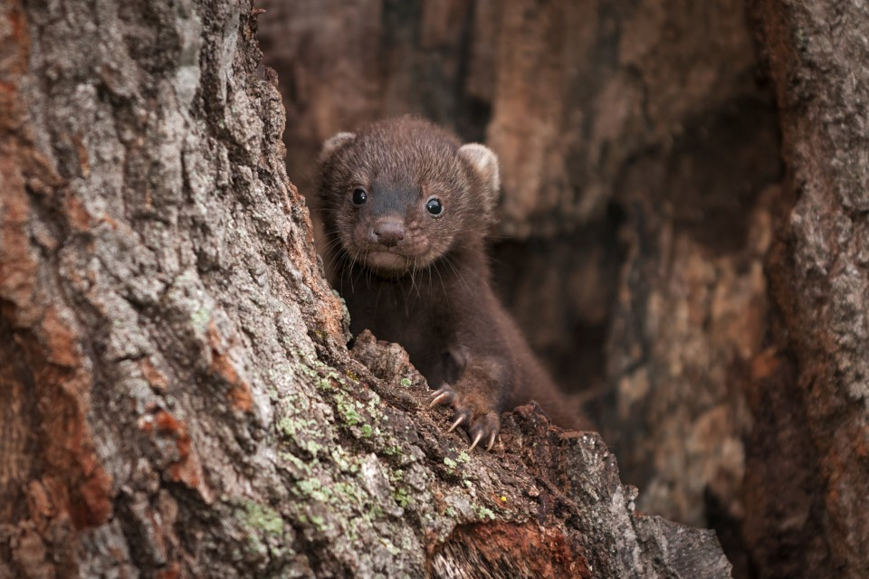 fisher kit in a tree
