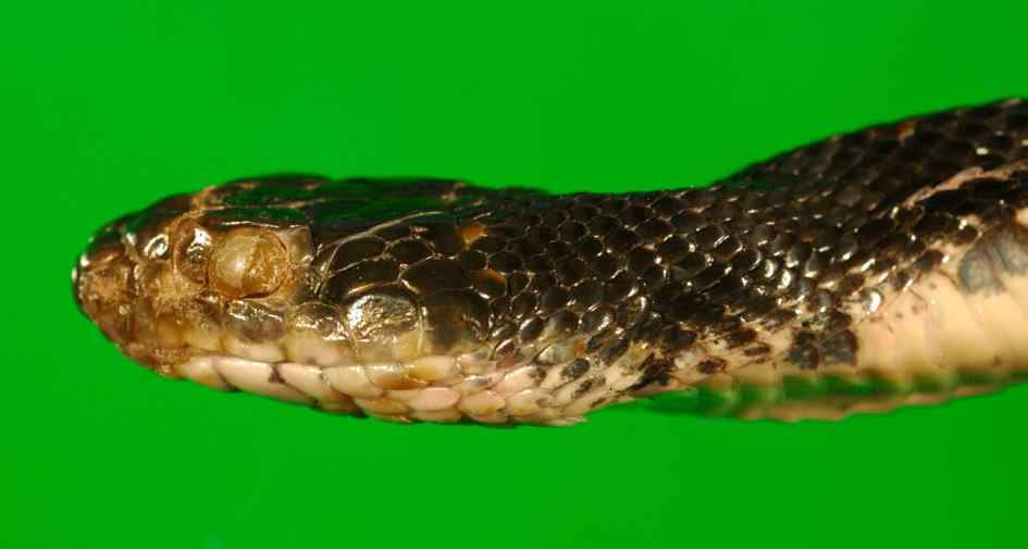 Eastern rat snake (Pantherophis alleghaniensis) showing signs of fungal infection. Obvious external abnormalities are an opaque infected eye (spectacle) and roughened, crusty scales on the snout