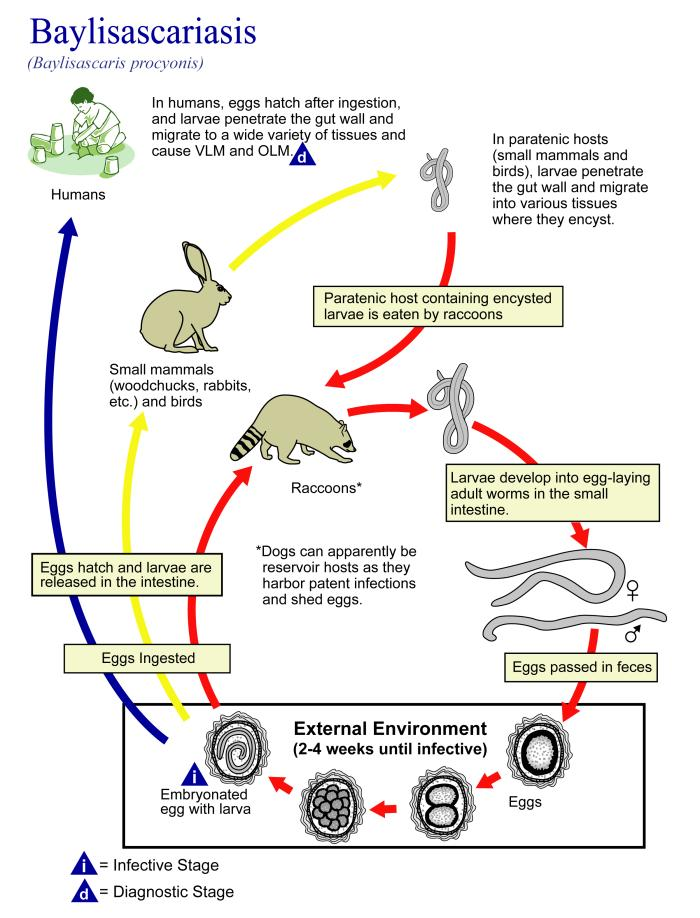 Chart showing raccoon roundworm life cycle