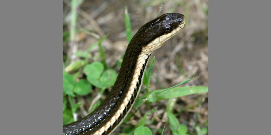 Queen Snake, Regina septemvittata