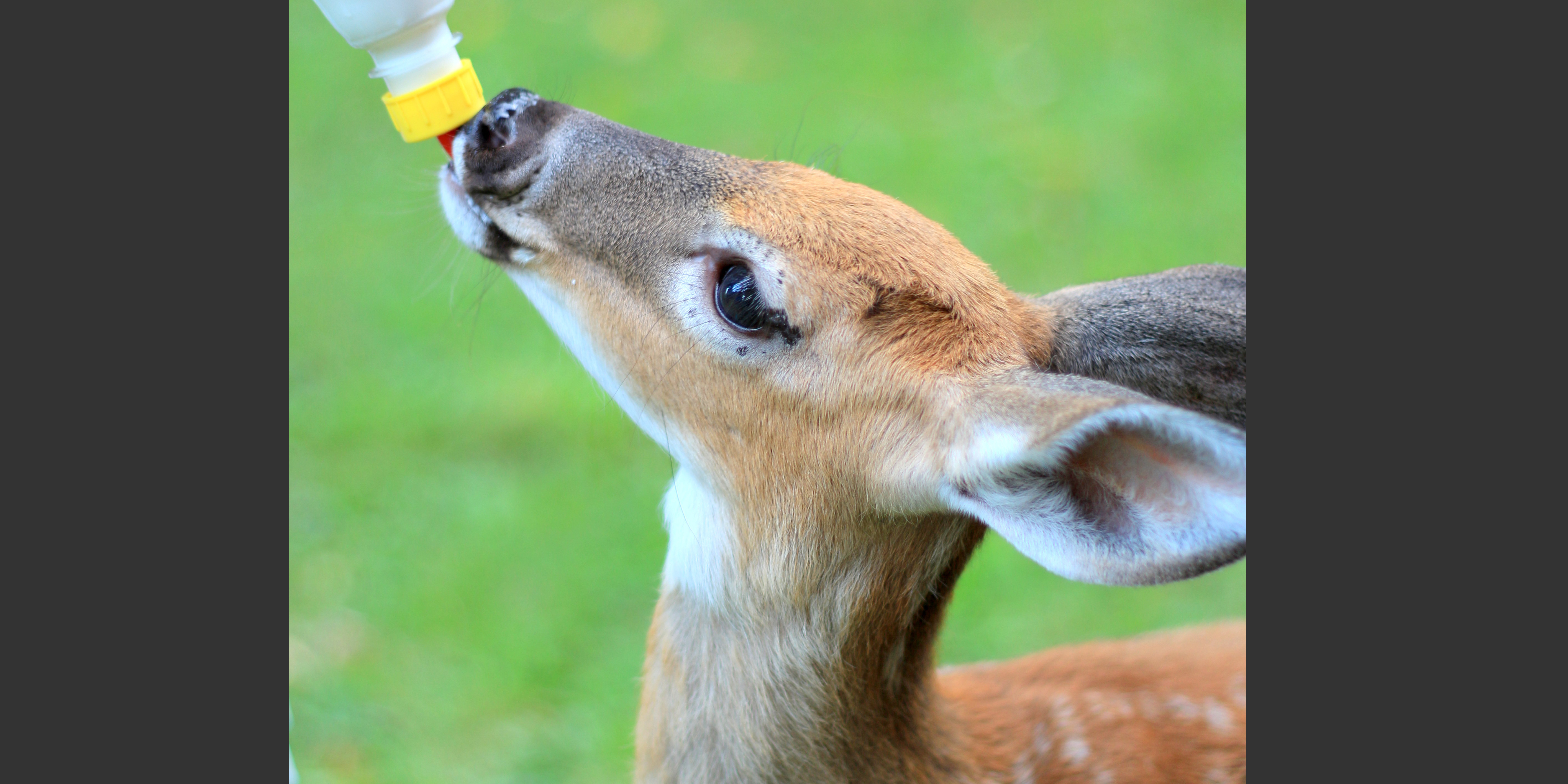 White-tailed deer fawn feeding from a bottler in rehab