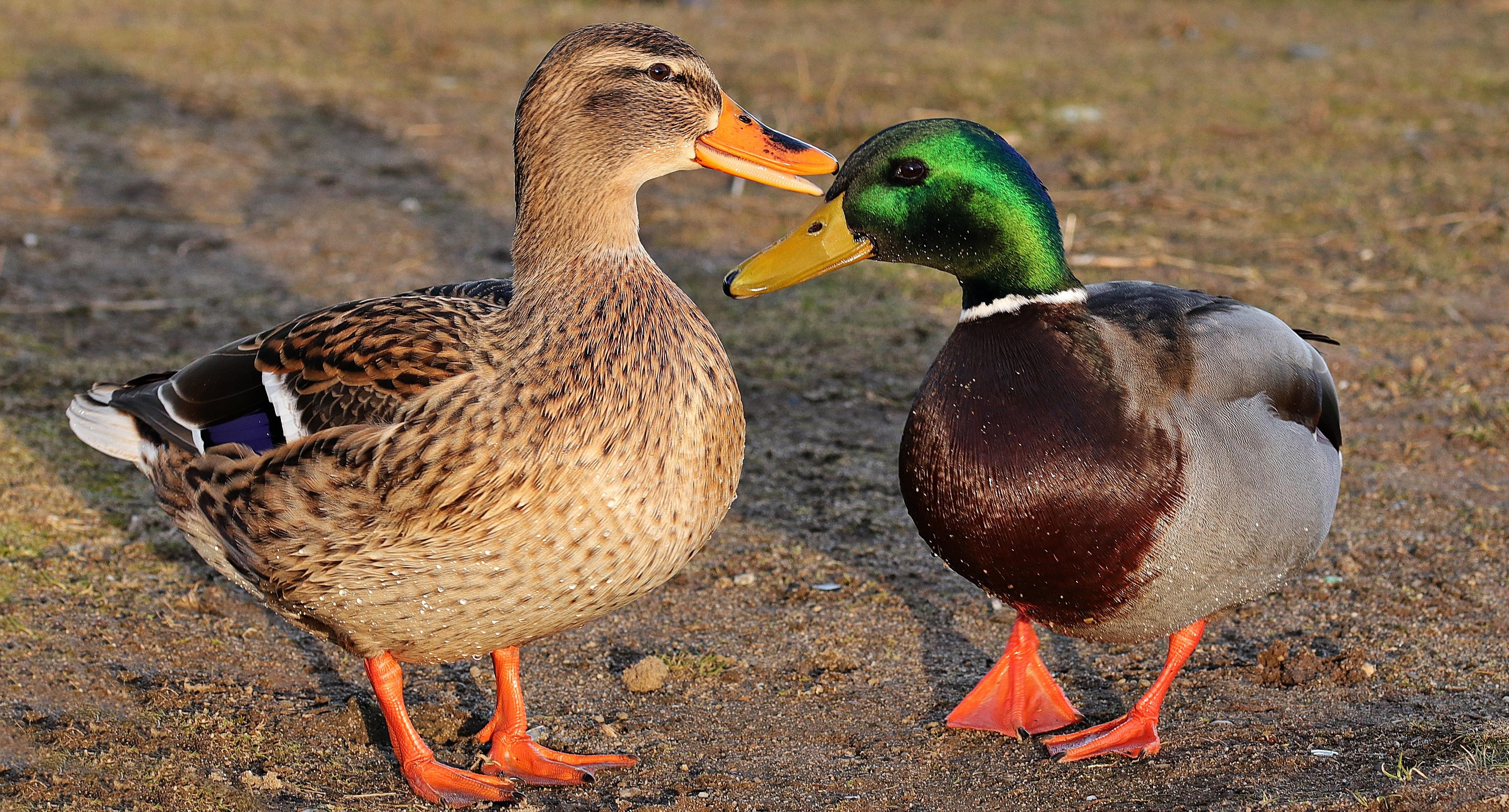 Mallard duck and drake