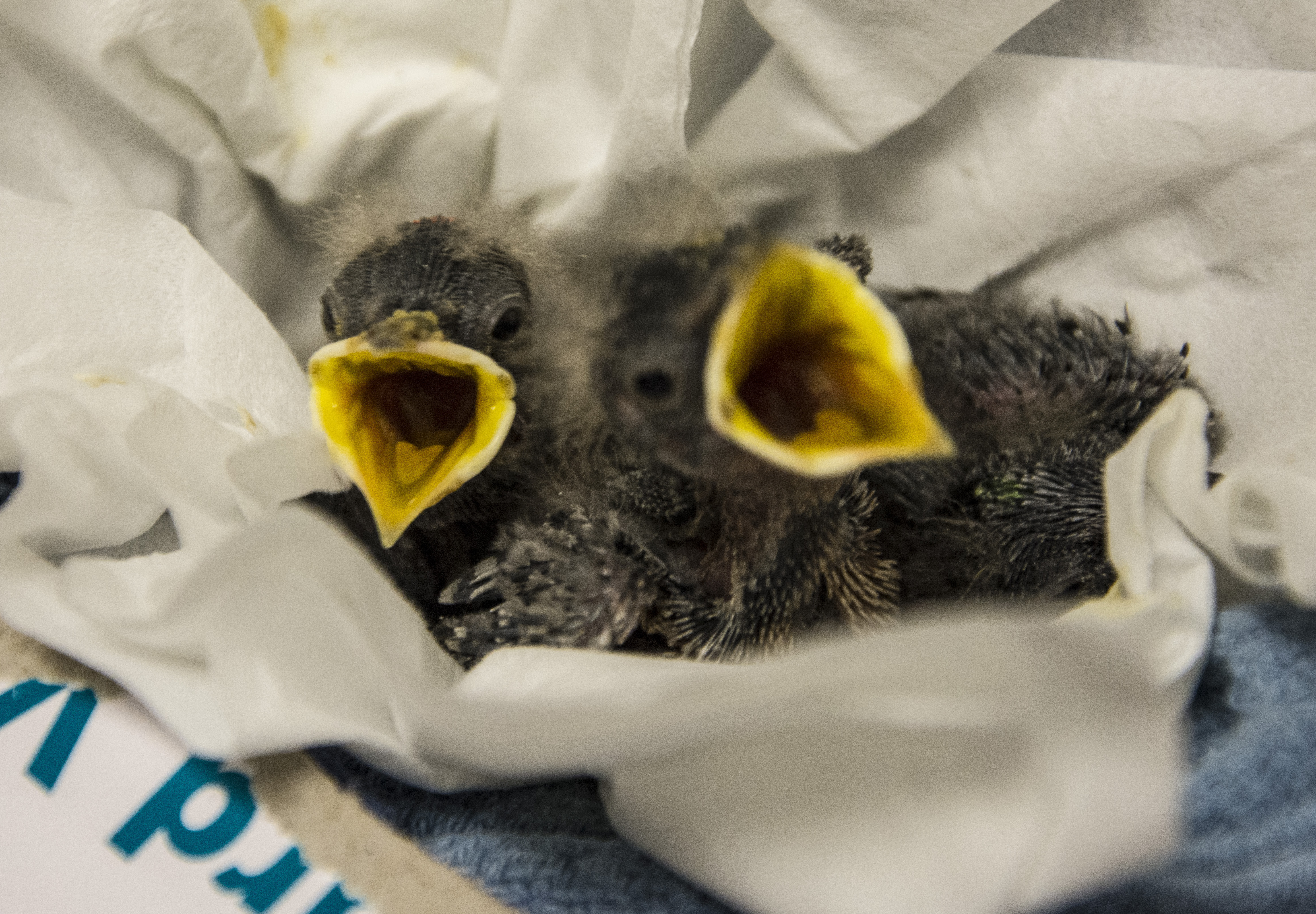 Nestlings at the Janet L. Swanson Wildlife Health Center