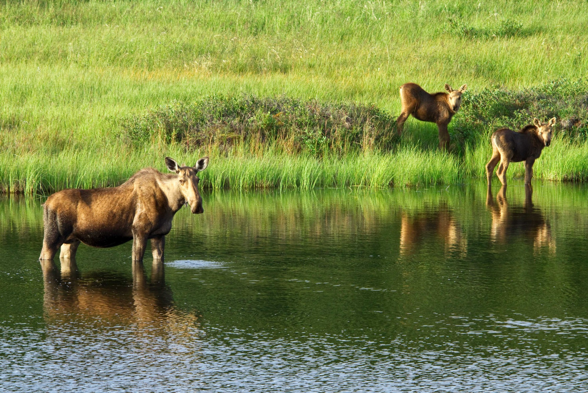 Moose cow at water with two calves