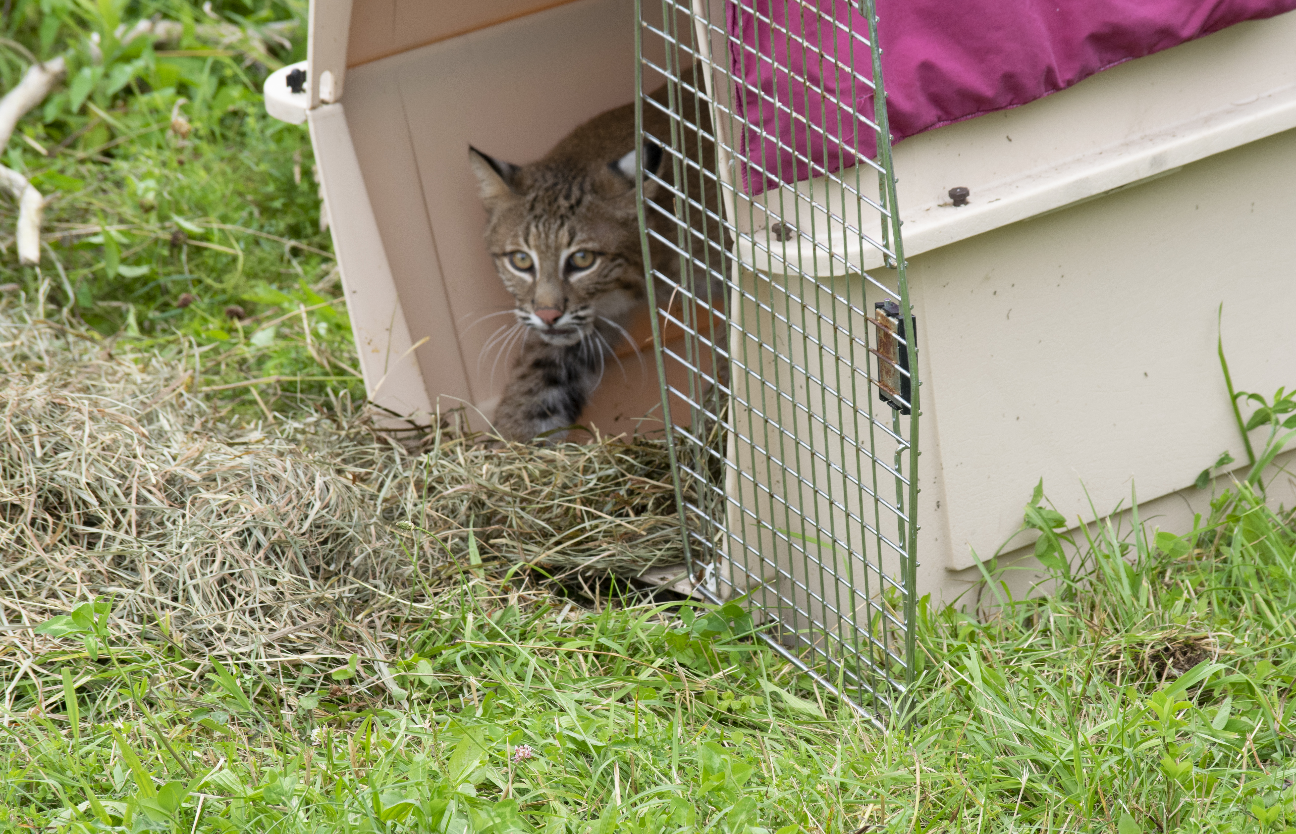 Young bobcat released into wild