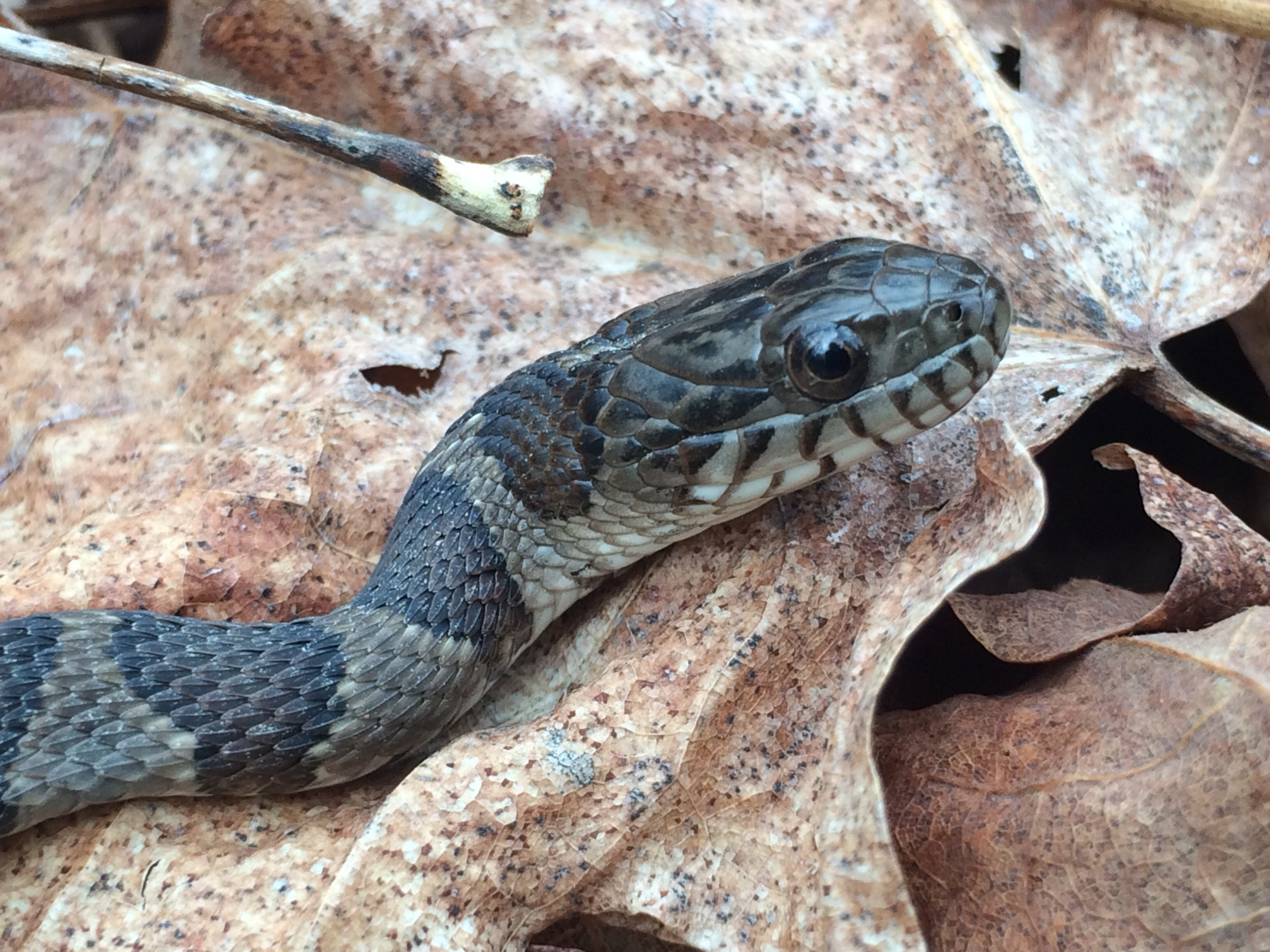 juvenile water snake