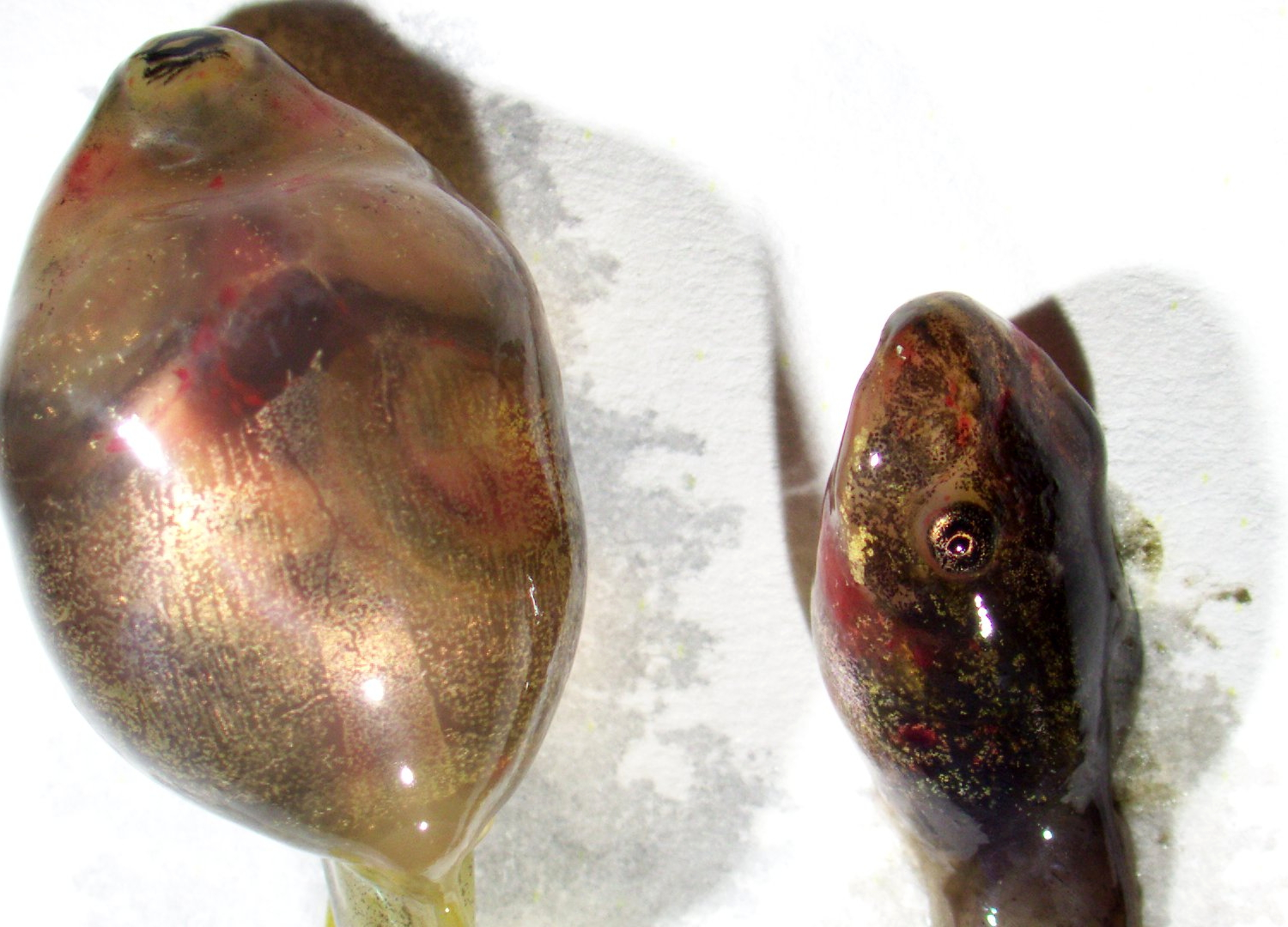 Tadpole size differences