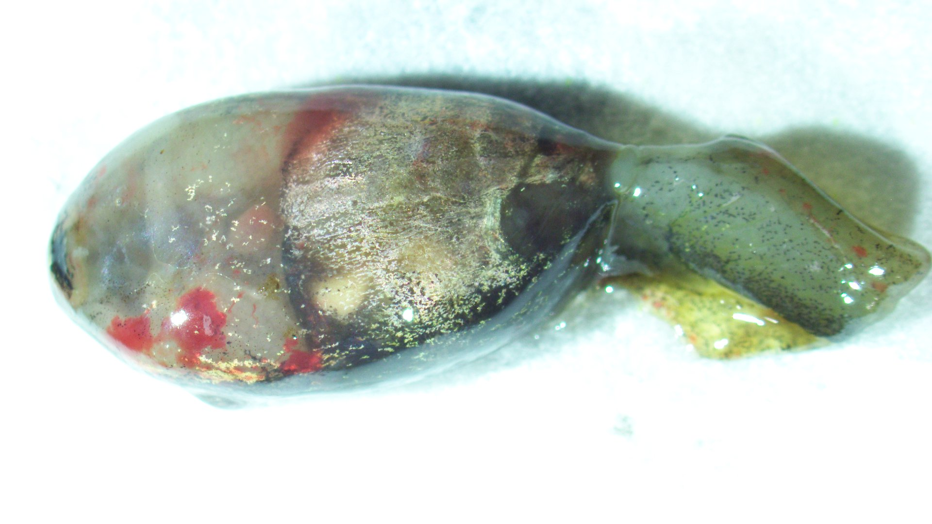 tadpole with discolored body