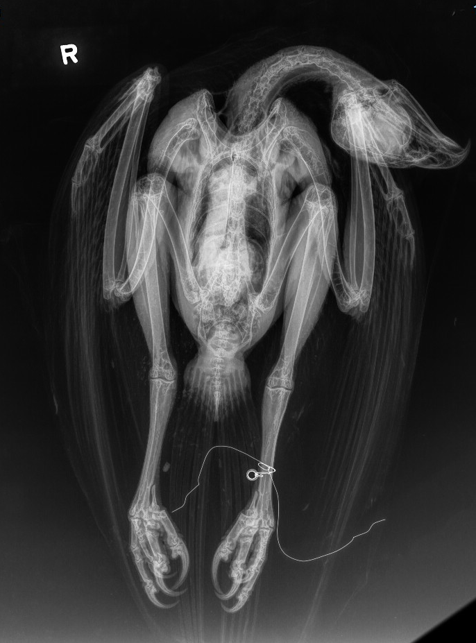 Radiograph of red-tailed ahwk