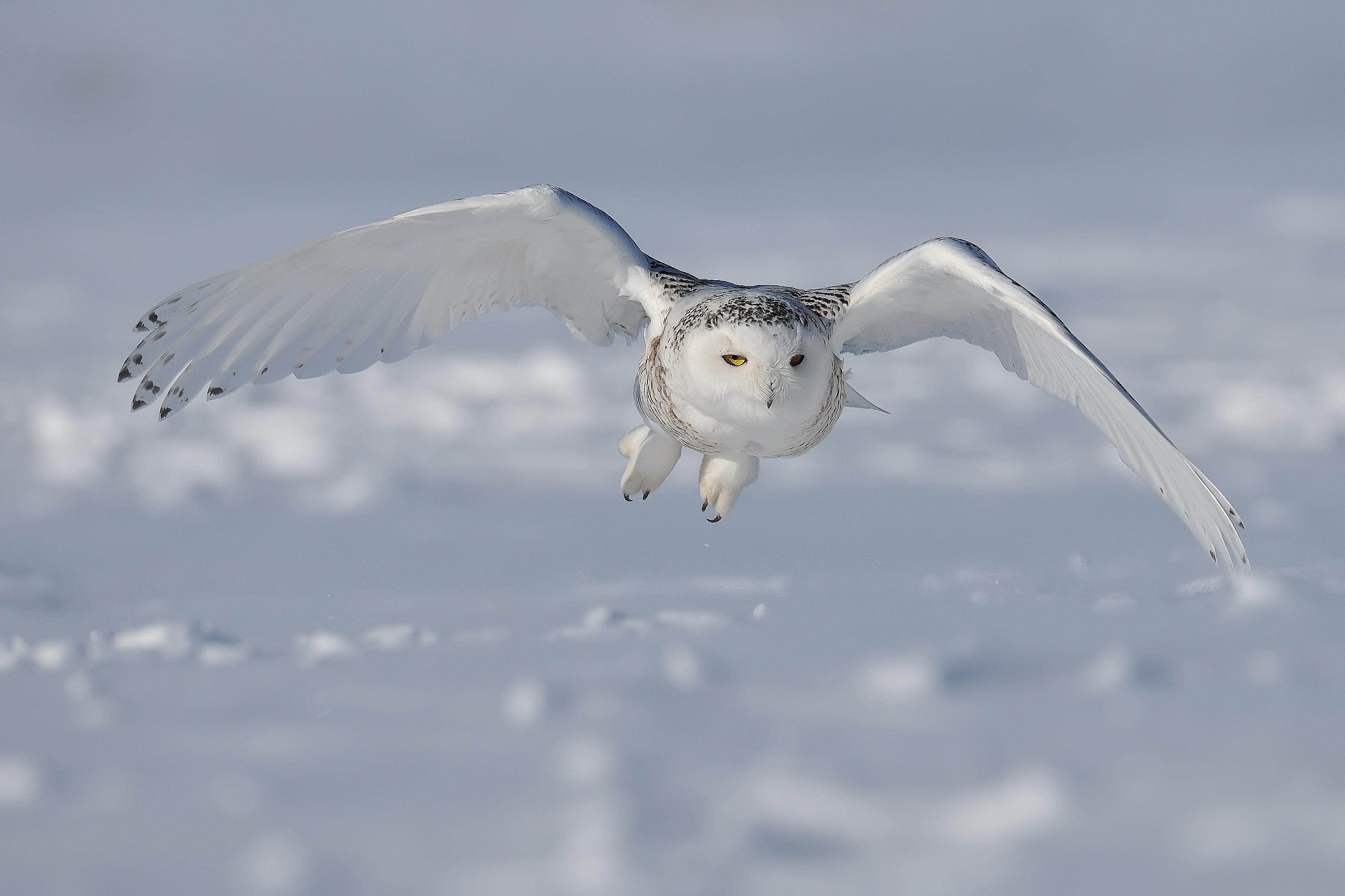 Snowy owl flying low in winter