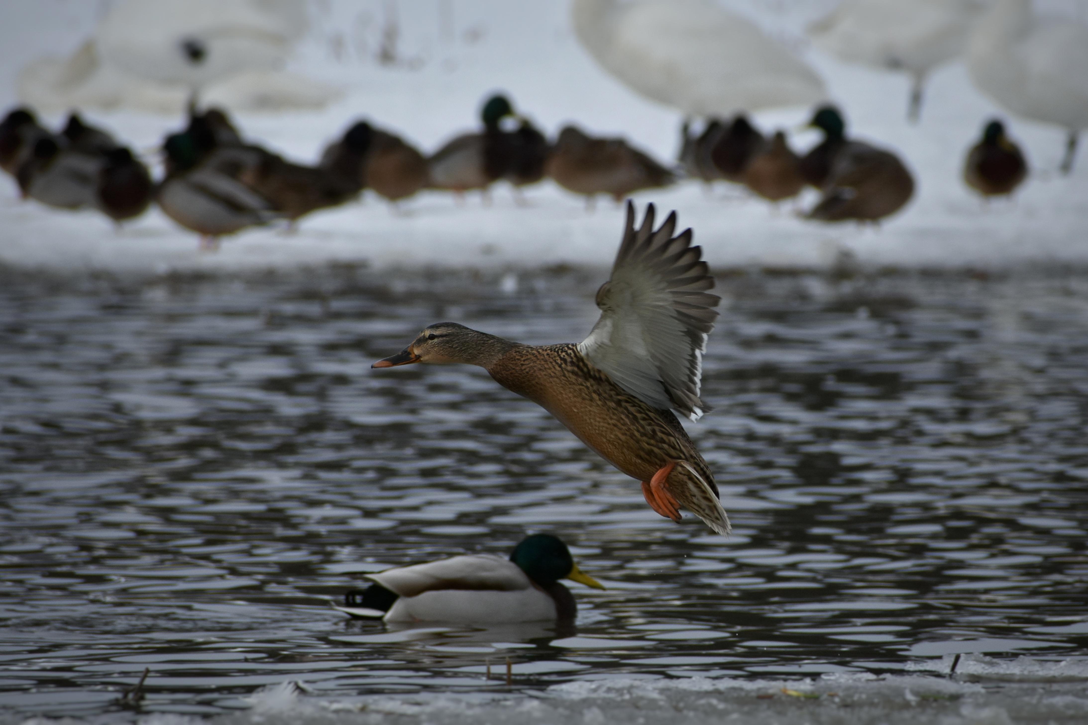 Long Island Ducks Animal