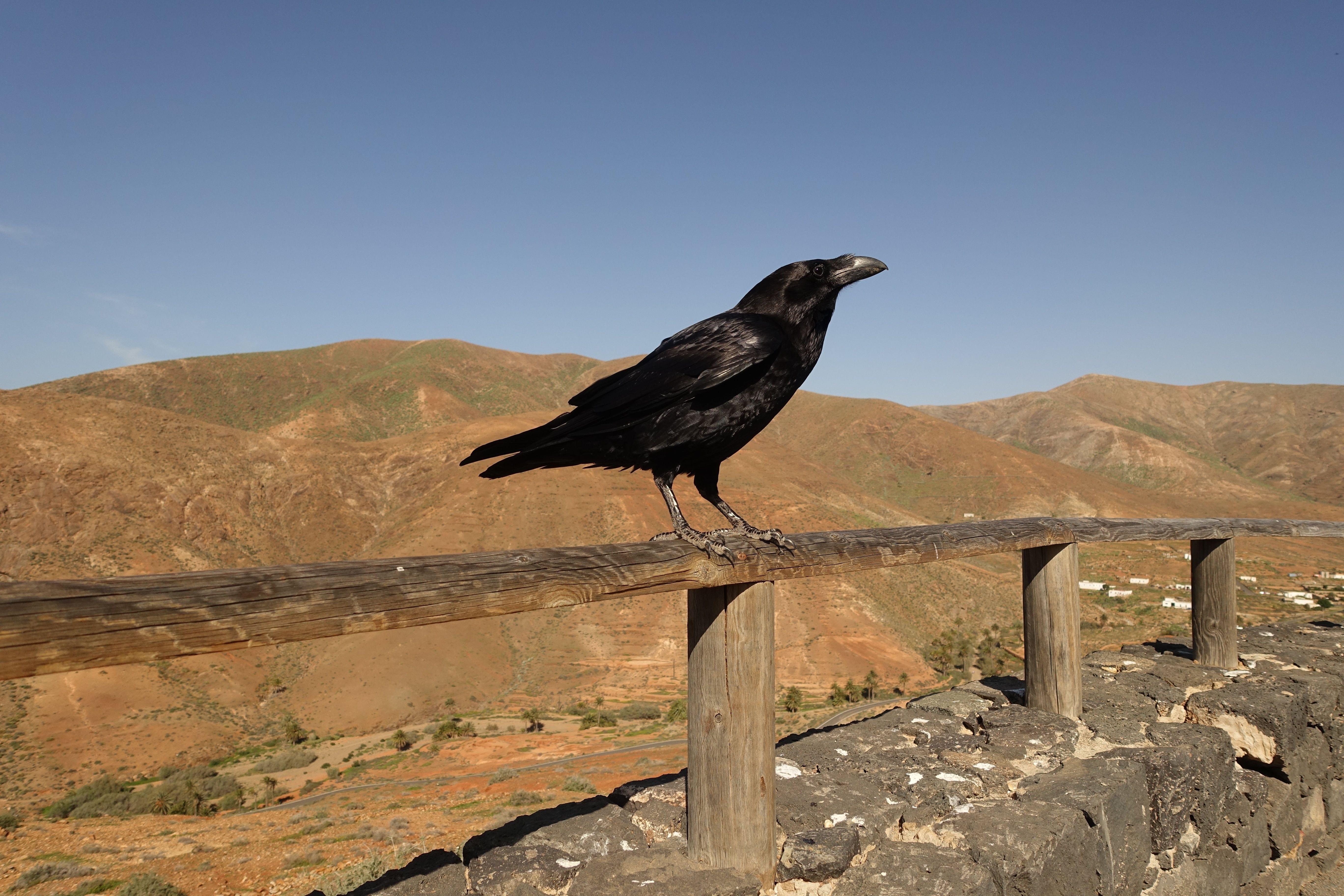 Common raven perched on fence rail