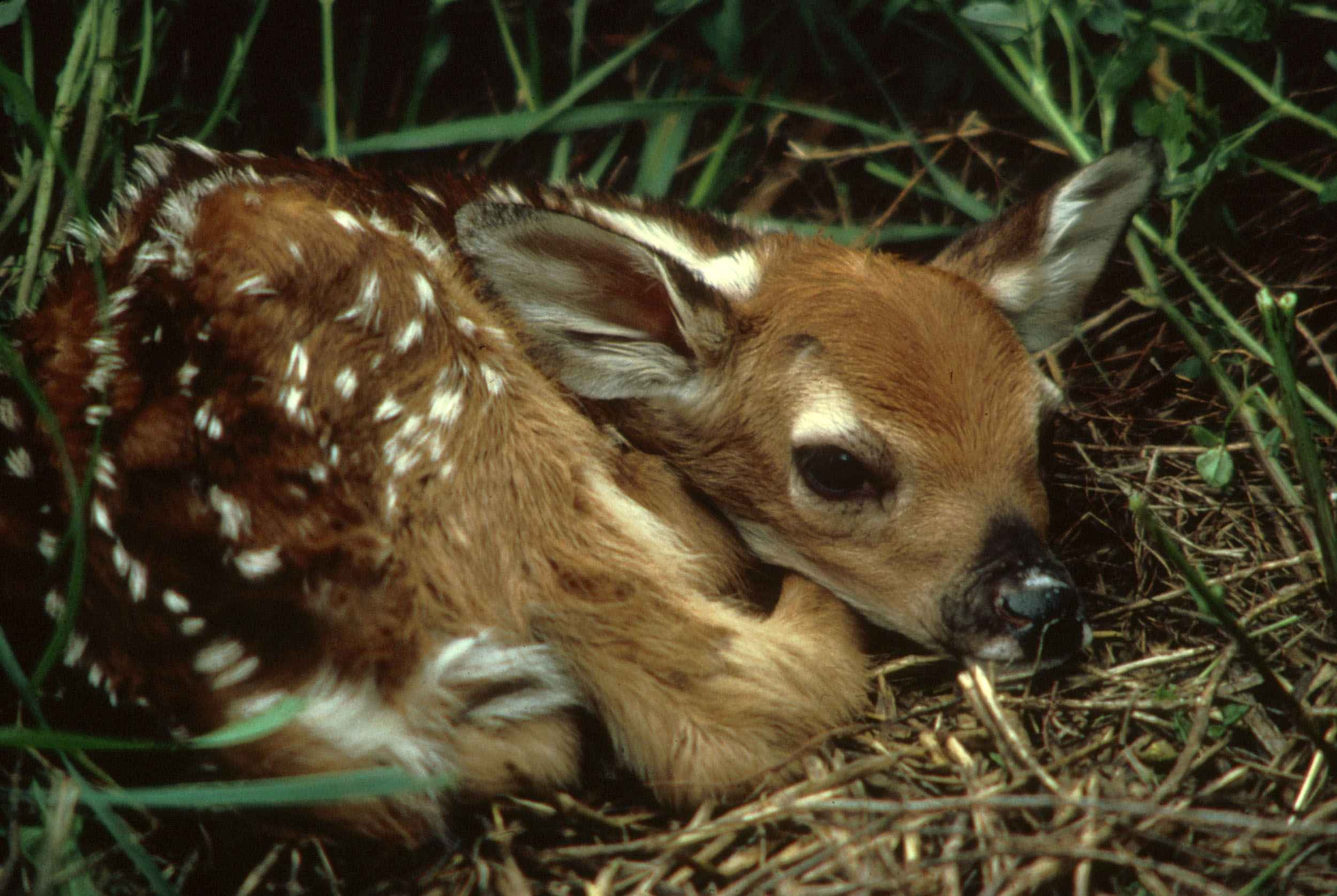 small deer fawn waiting for mother to return