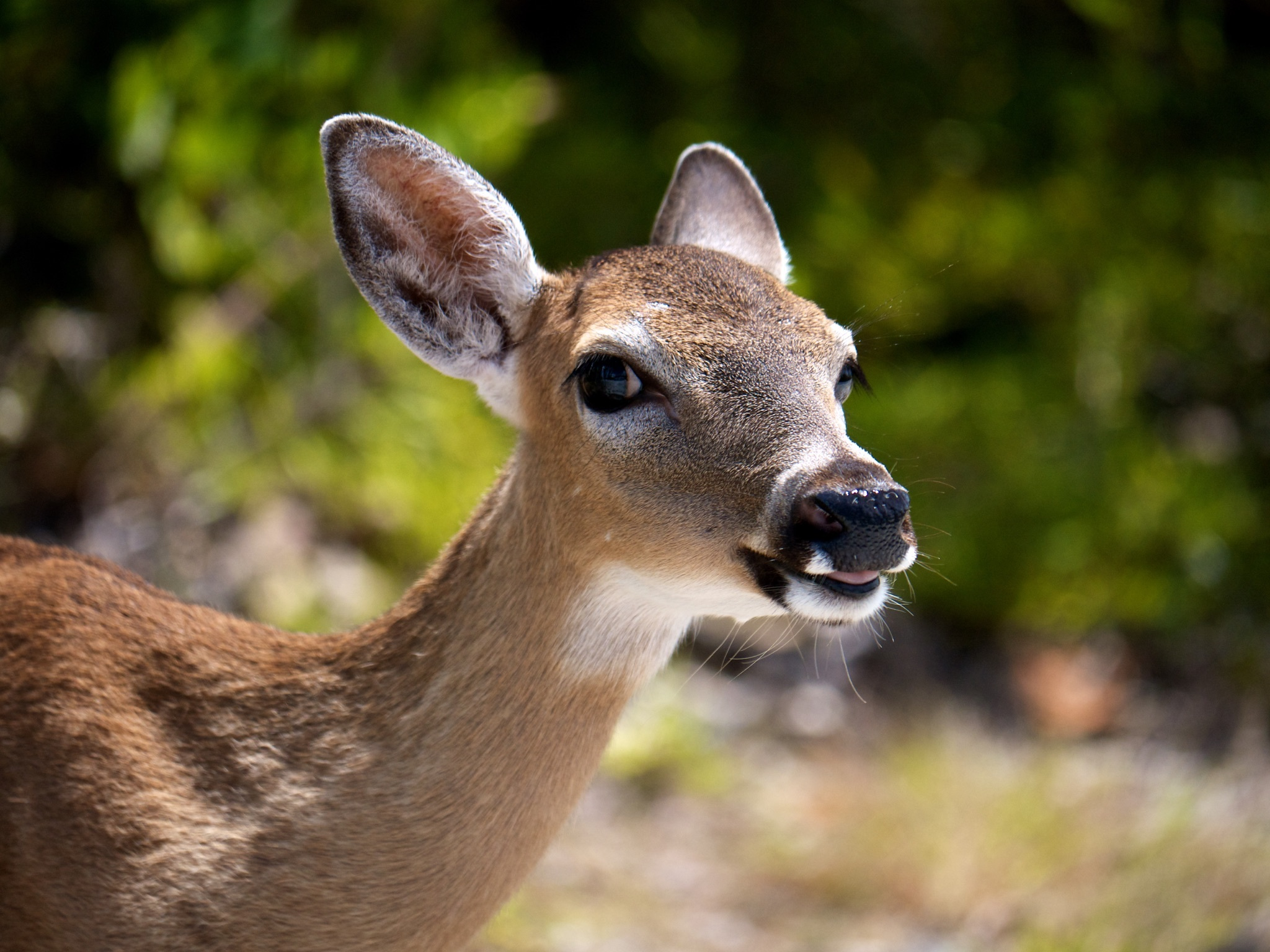 Key deer up close