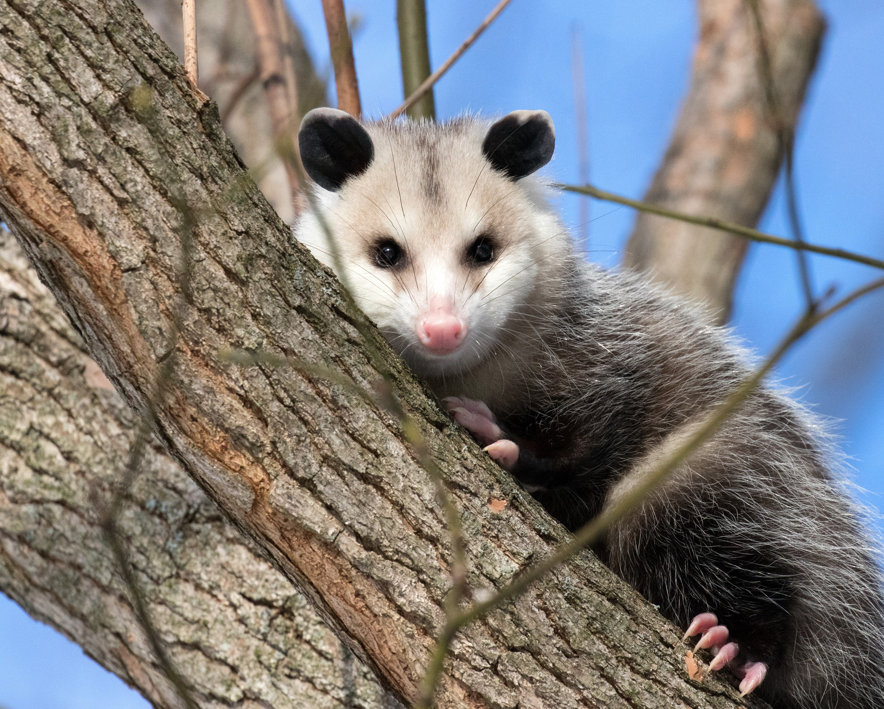Virginia opossum in a tree