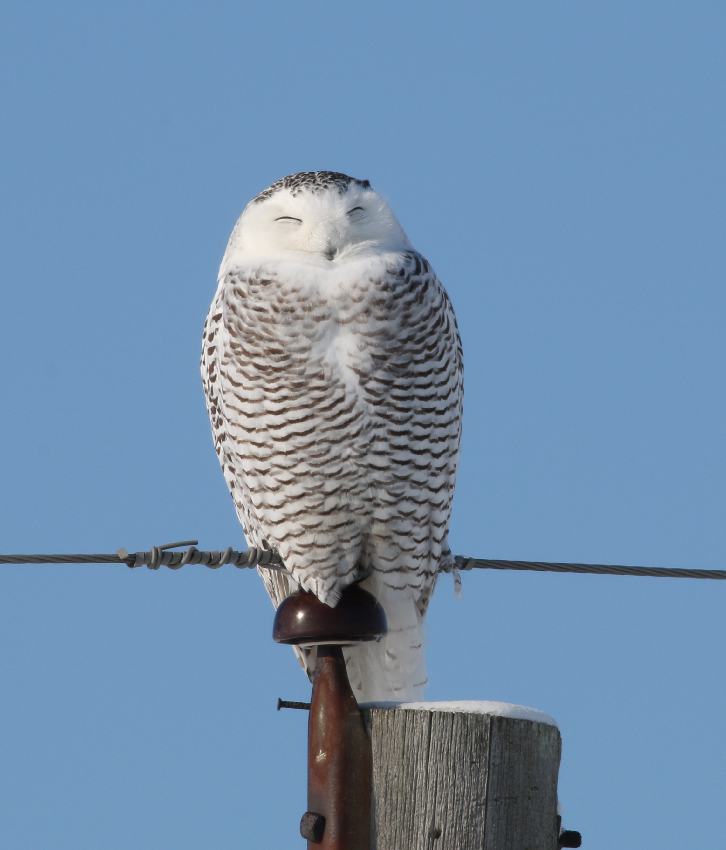 Snowy owl - on perch