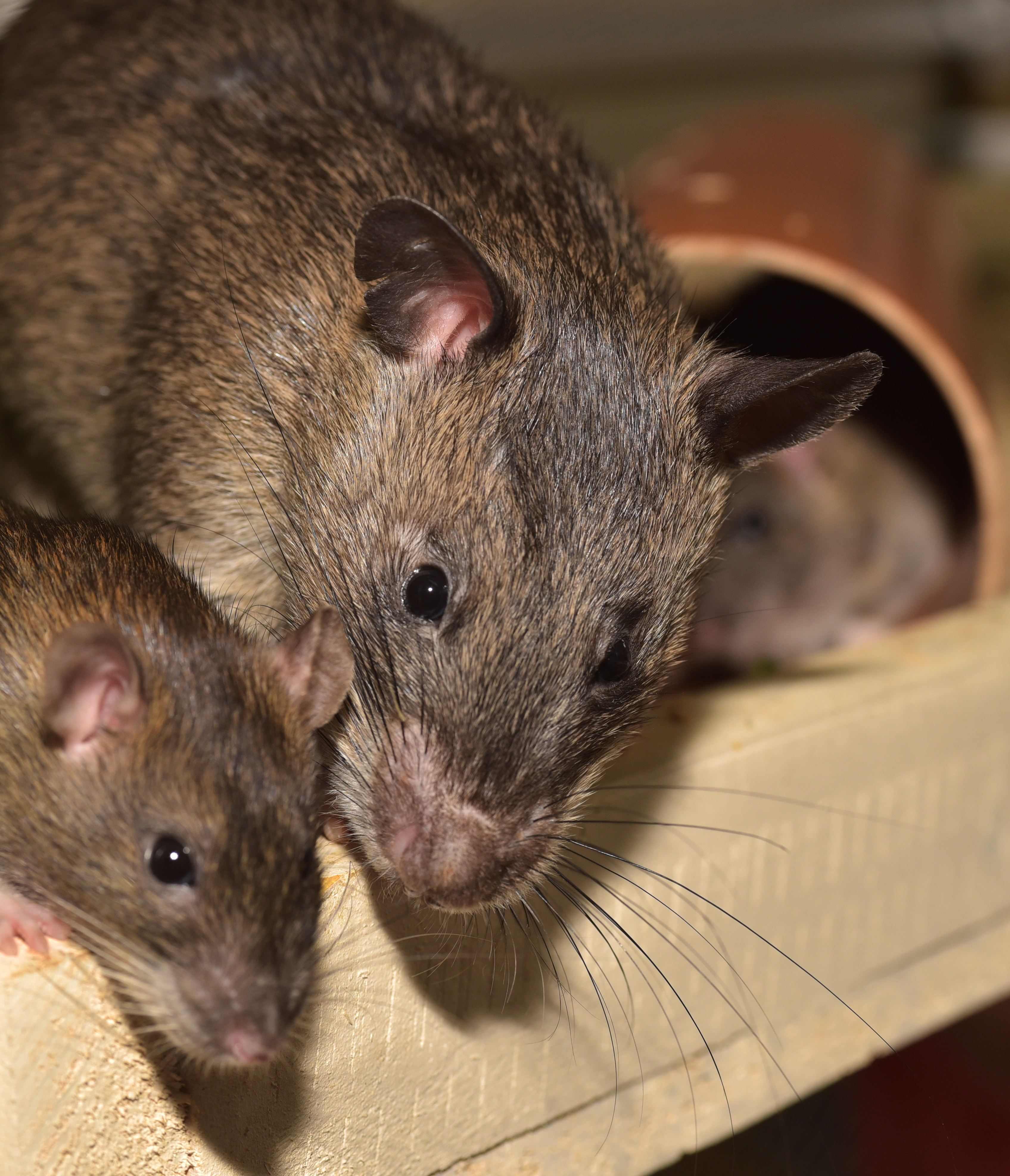 Rats in house
