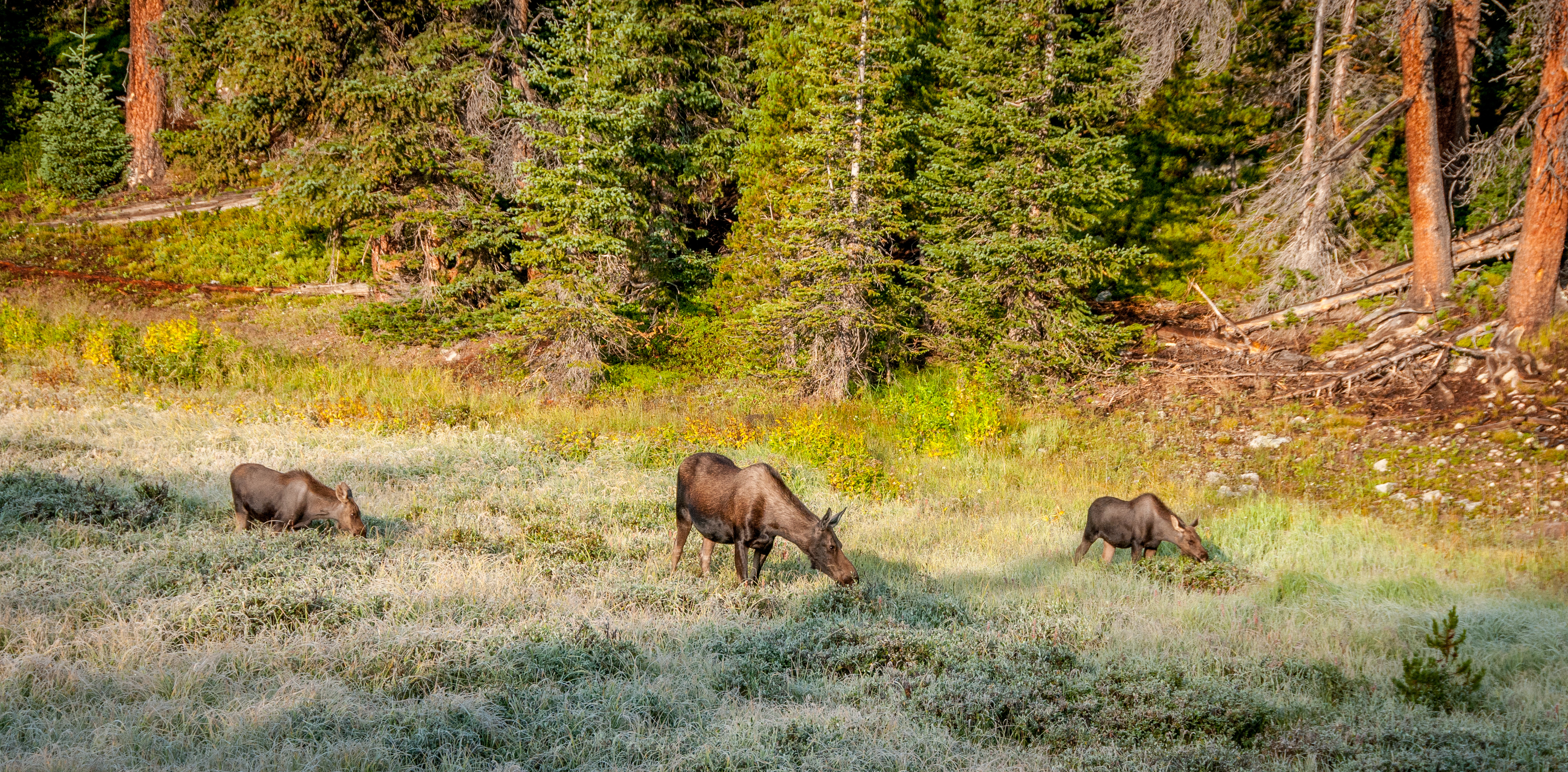 Group of moose on the move