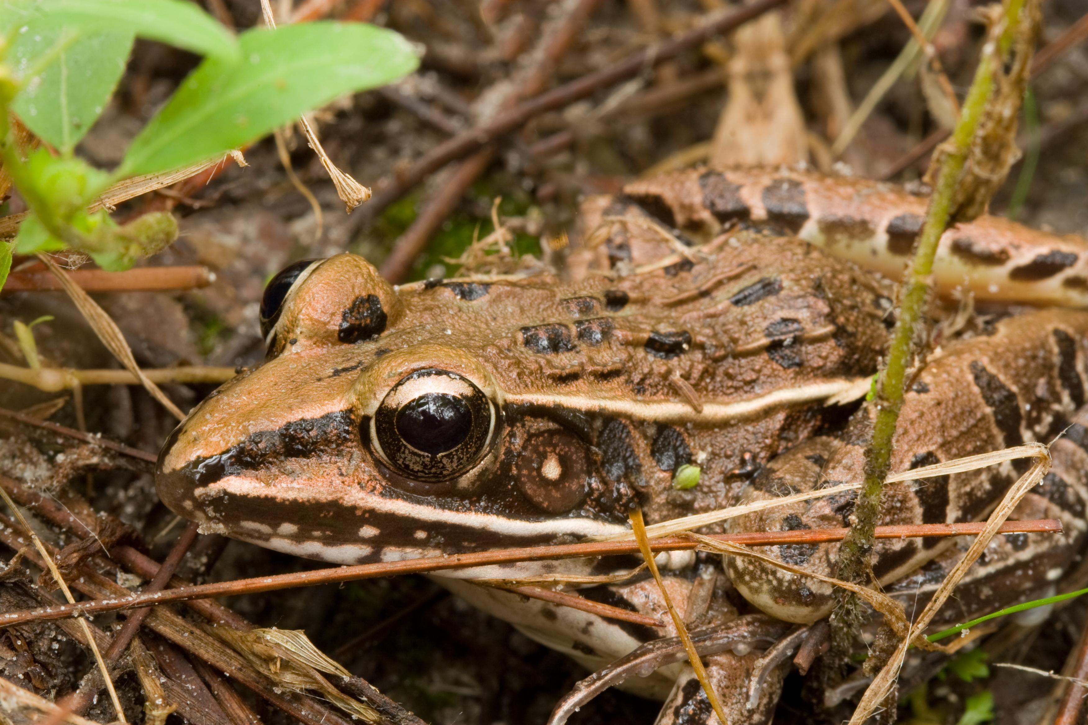 wood frog in mud