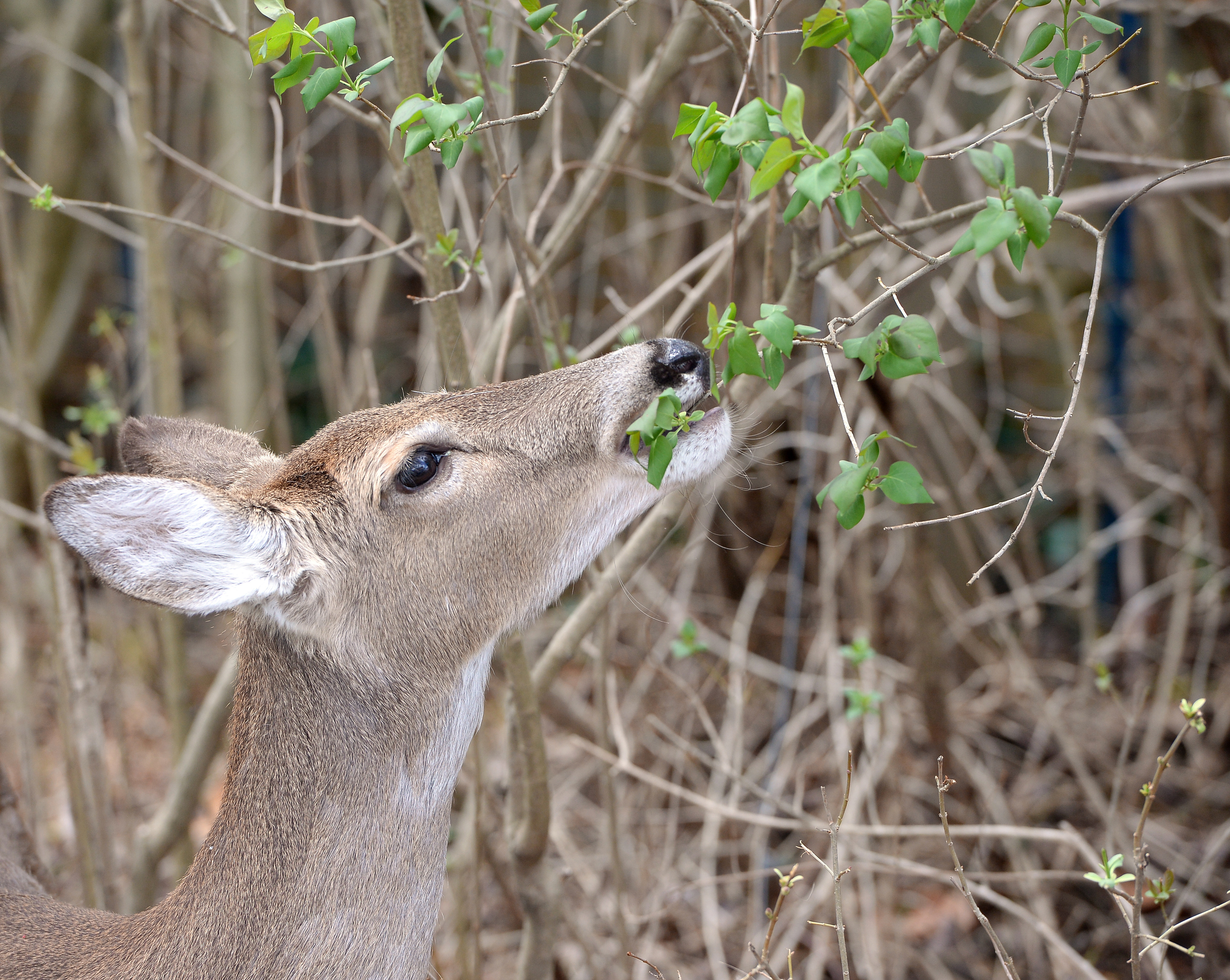 youn white-tailed deer eating tree