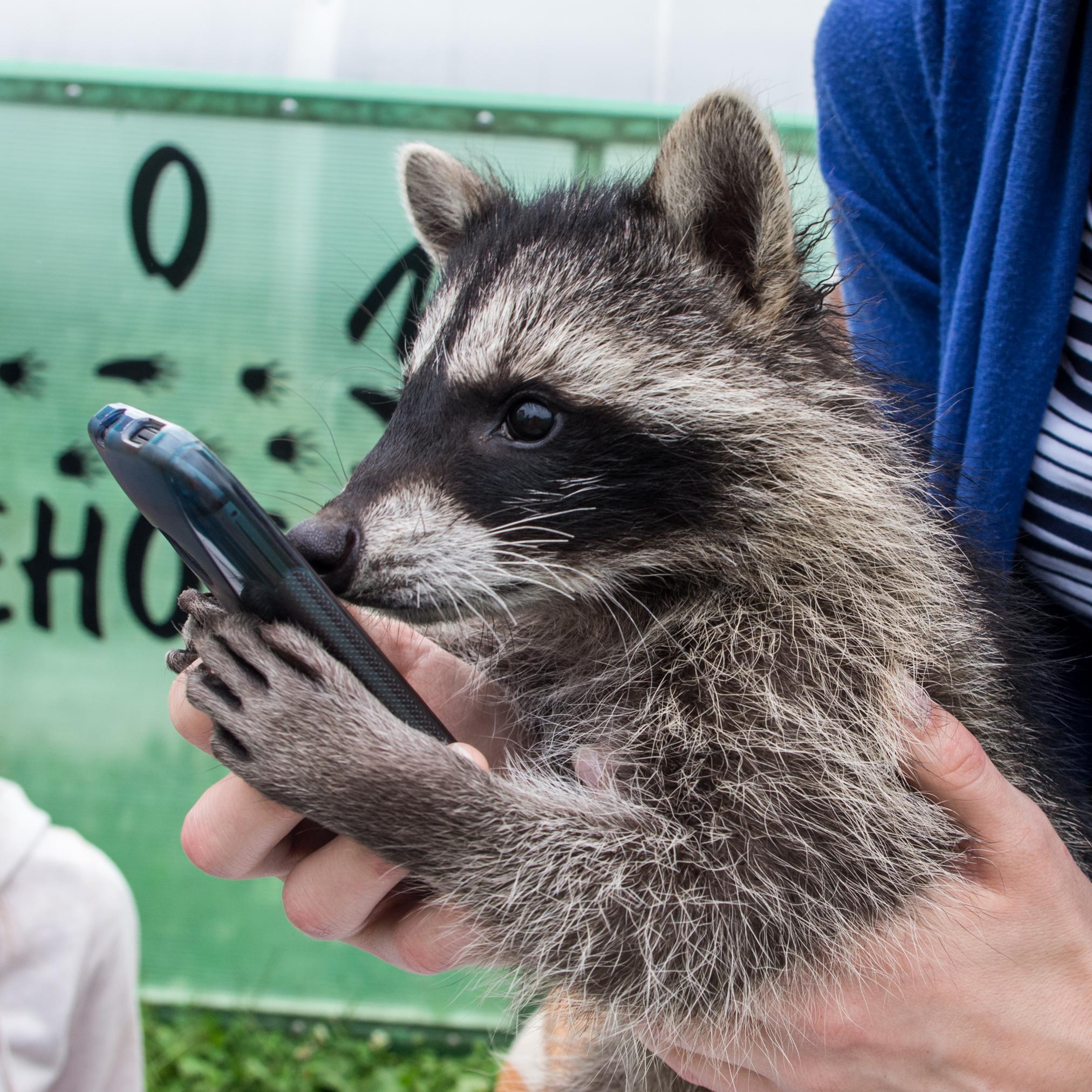 Baby raccoon selfie