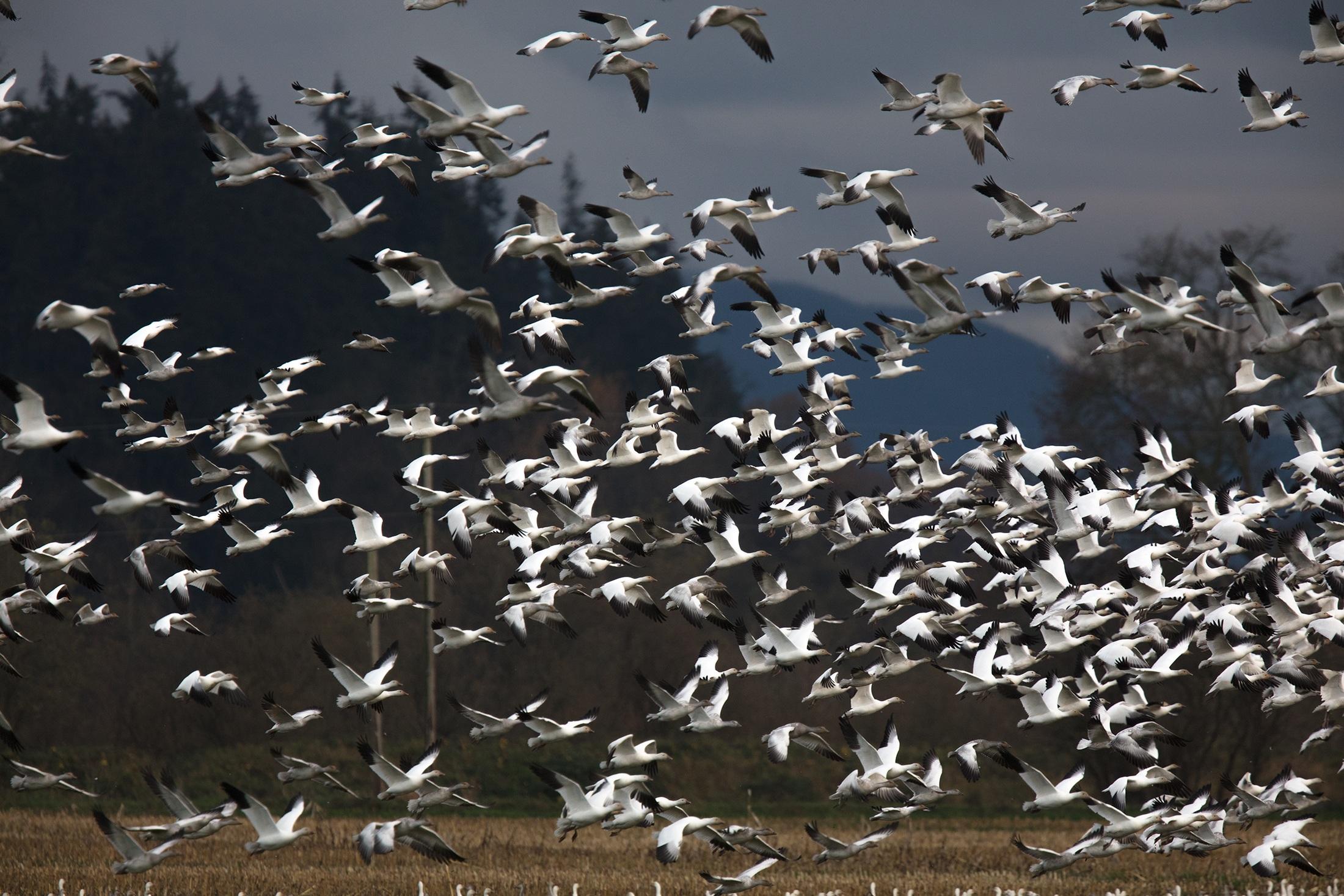 snow-geese in flight