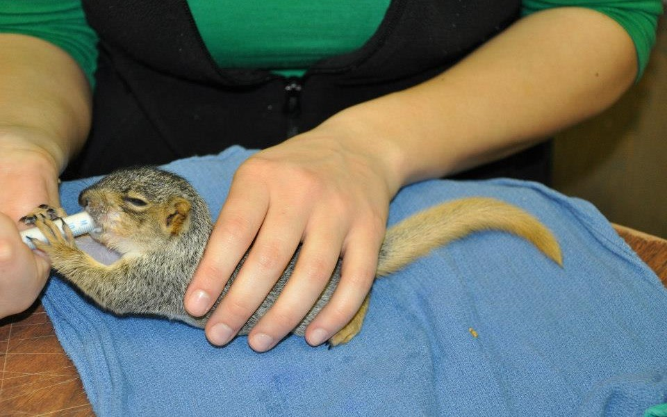 baby squirrel being fed by a rehabilitator