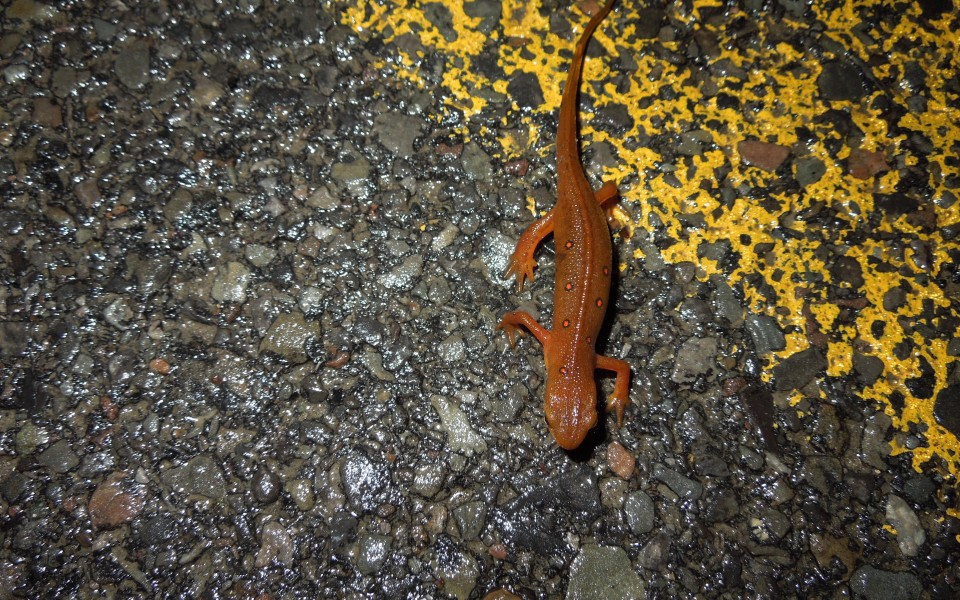 A red eft on the move
