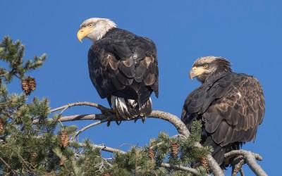 Adult and juvenile bald eagles