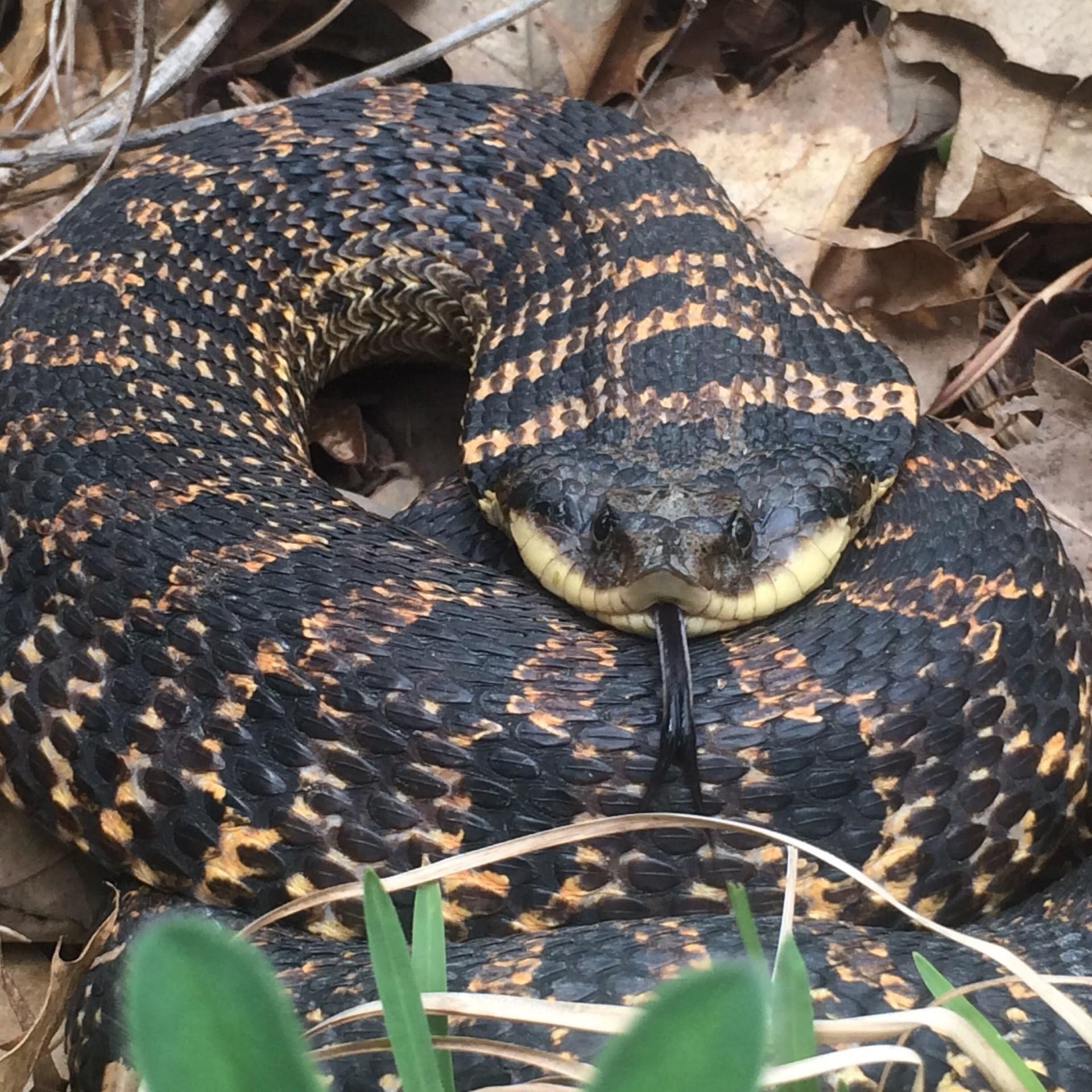 Hognose snake by Melissa Fadden