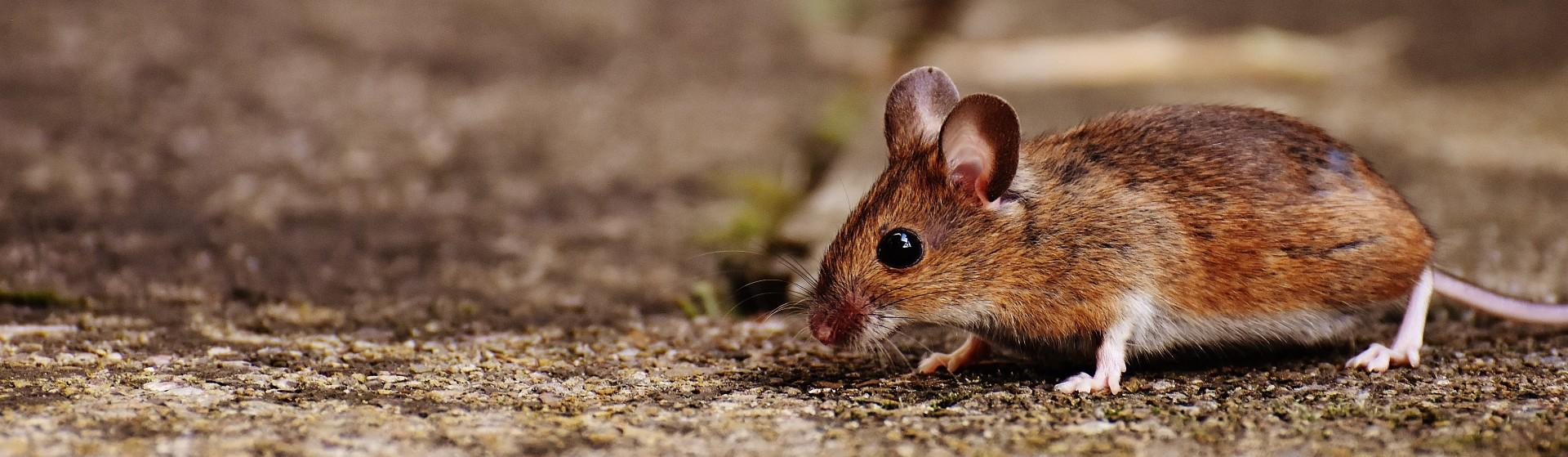 field mouse lanscape view