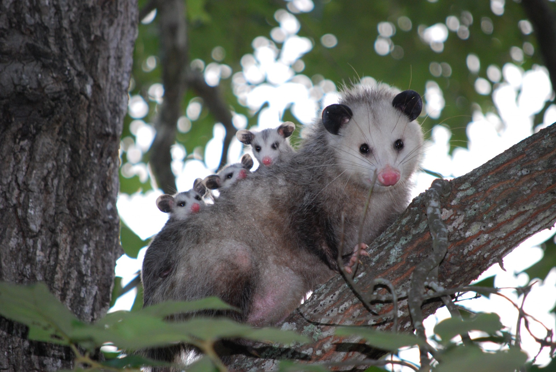 Female opossum in tree with young on her back