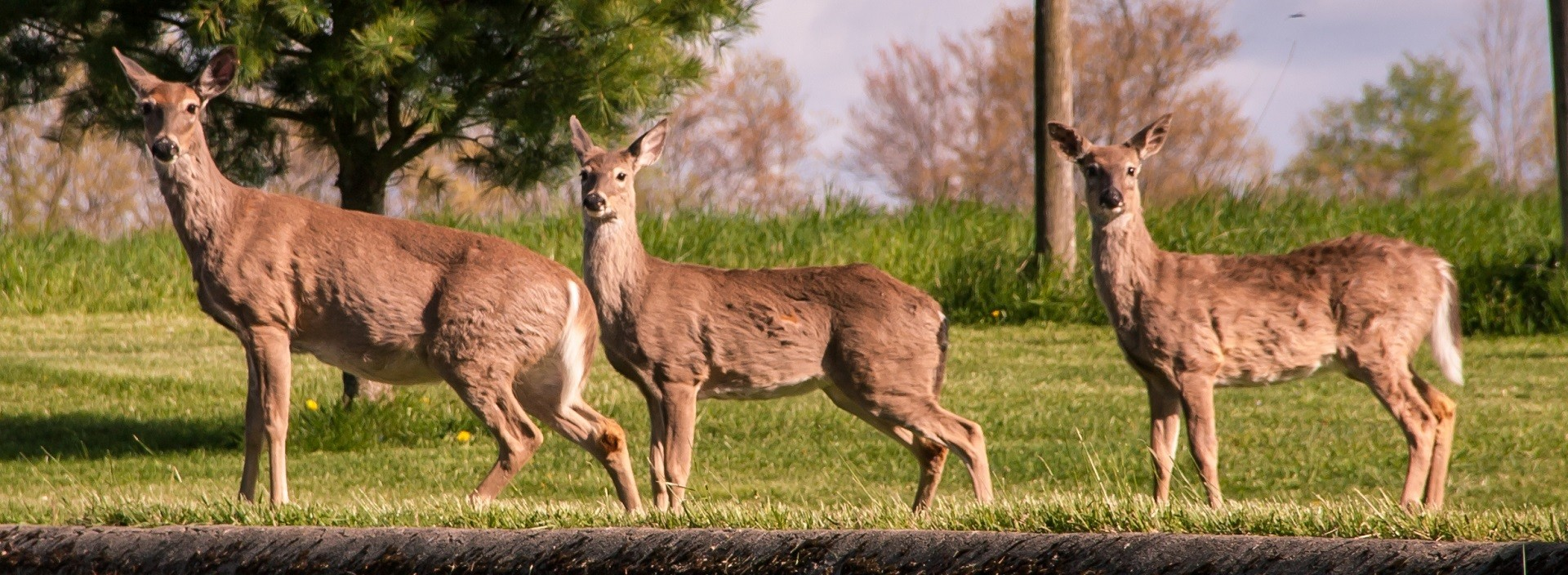White-tailed deer on the move