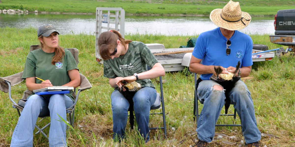 Goose banding and sexing in the field with NYSDEC