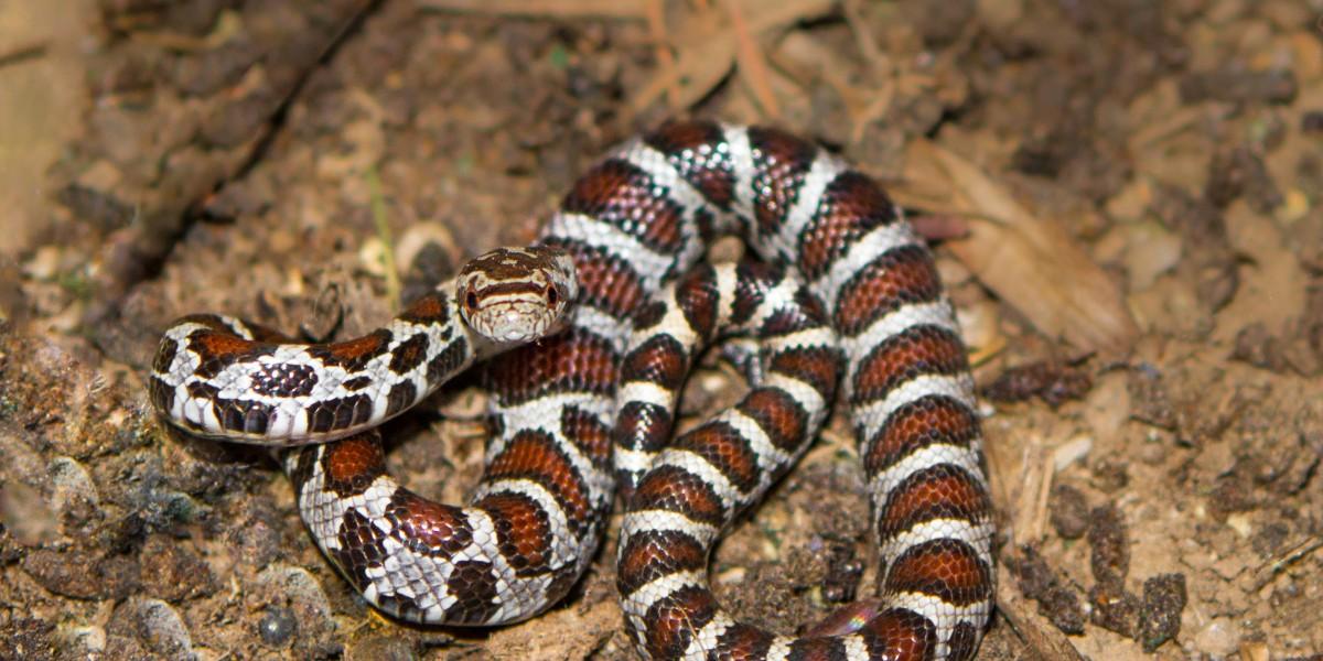Milk snake, photo by Laurie Dirkx