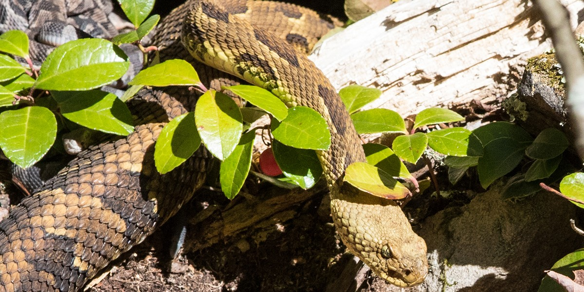 Timber rattlesnake and young, photo by Laurie Dirkx