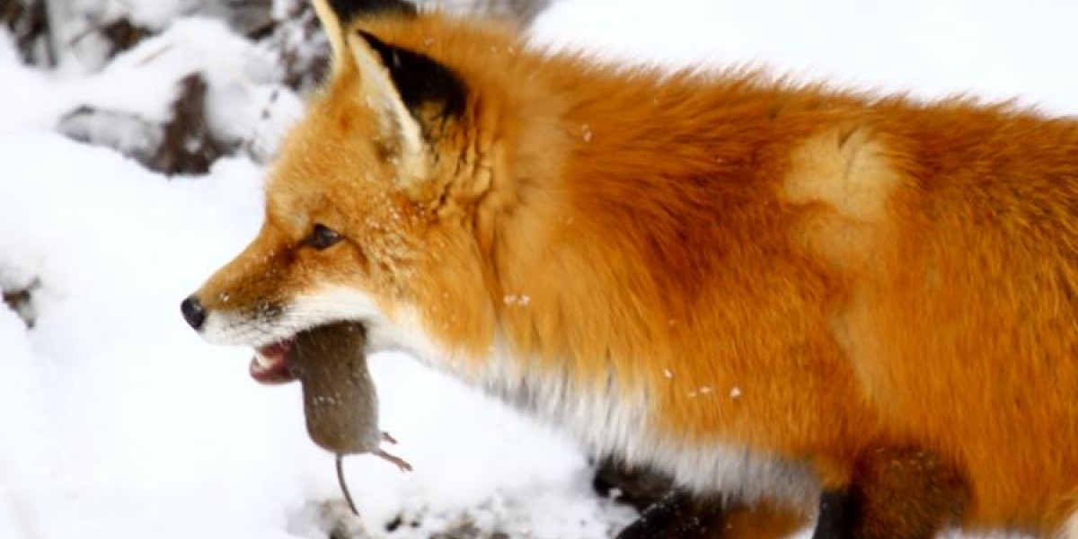 Red fox with prey; Photo courtesy of Dave Small, Friends of Sunkhaze Meadows National Wildlife Refuge