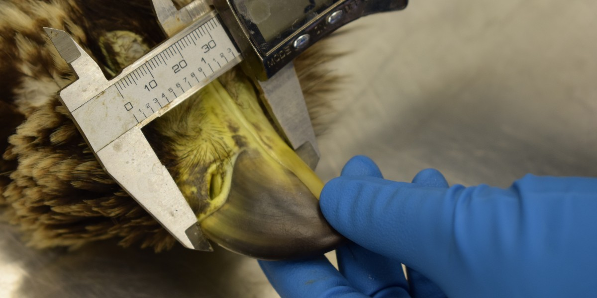 Pathologist measuring juvenile bald eagle's beak to determine sex, part of the beak-to-talon ratio used in determining sex