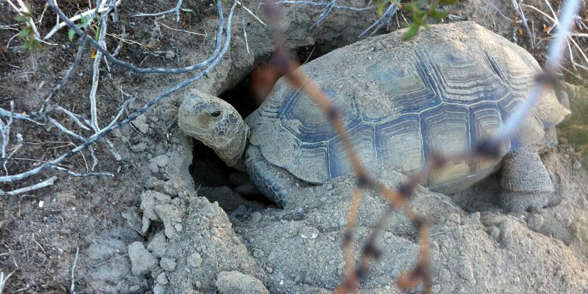 Desert tortoise digging a burrow