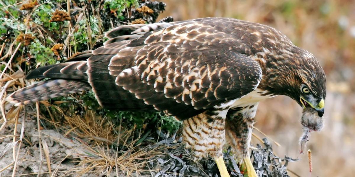 Hawk eating prey; by Steve Jurvetson [CC BY 2.0], via Wikimedia Commons