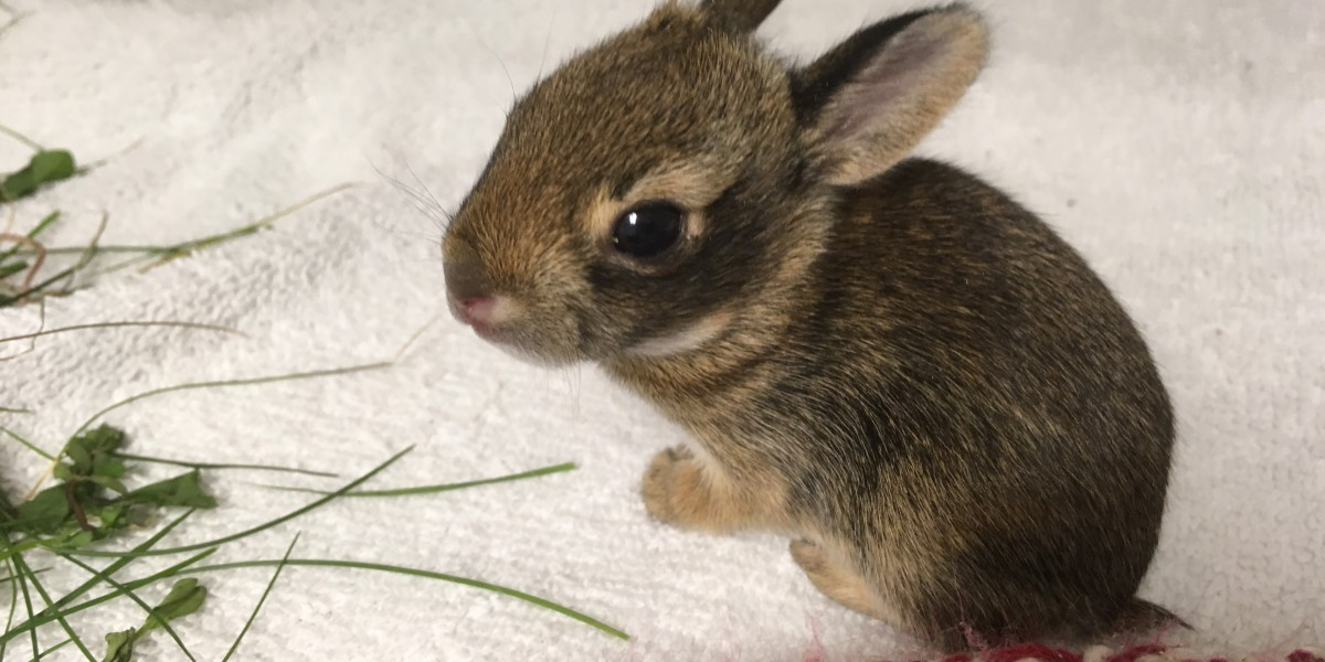 Baby bunnies, one of the most common animals seen in wildlife rehabilitation. A check-up at Janet L. Swanson Wildlife Health Center before going onto a licensed wildlife rehabilitator for continued care.